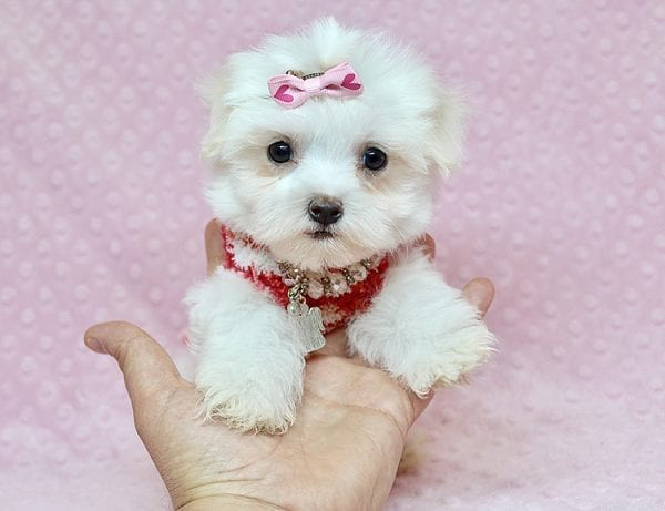Vera Wang - Teacup Maltese Puppy found a new home with Josette S from Las Vegas NV 89144-25094
