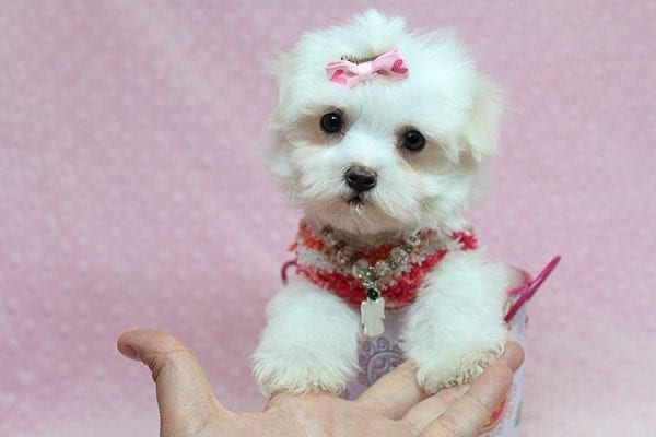 Vera Wang - Teacup Maltese Puppy found a new home with Josette S from Las Vegas NV 89144-25090