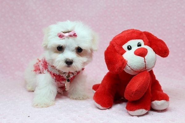 Vera Wang - Teacup Maltese Puppy found a new home with Josette S from Las Vegas NV 89144-25091