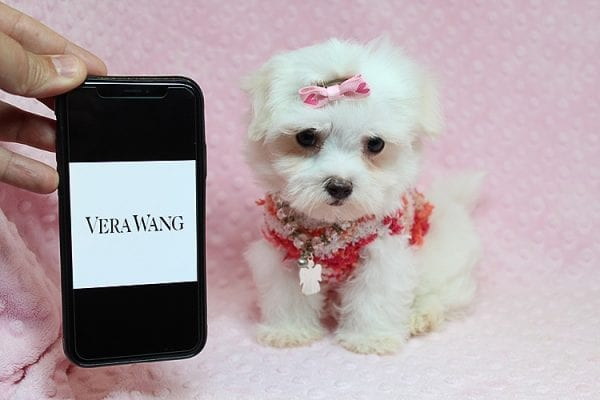 Vera Wang - Teacup Maltese Puppy found a new home with Josette S from Las Vegas NV 89144-0