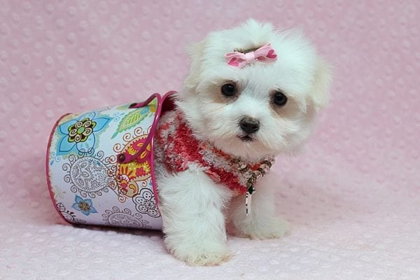 Vera Wang - Teacup Maltese Puppy found a new home with Josette S from Las Vegas NV 89144-25093