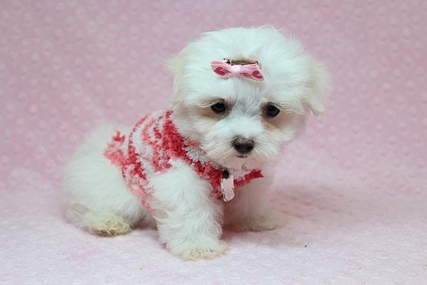 Vera Wang - Teacup Maltese Puppy found a new home with Josette S from Las Vegas NV 89144-25088