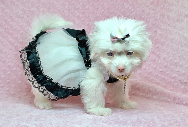 White Chocolate - Teacup Maltese Puppy Found Her Good Loving Home With Juan R. In Bell CA, 90201-25164