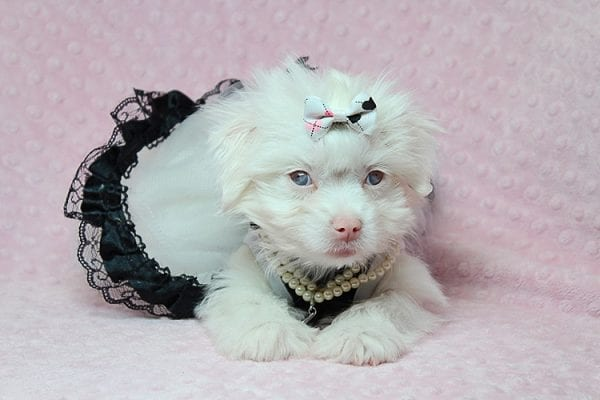 White Chocolate - Teacup Maltese Puppy Found Her Good Loving Home With Juan R. In Bell CA, 90201-25162