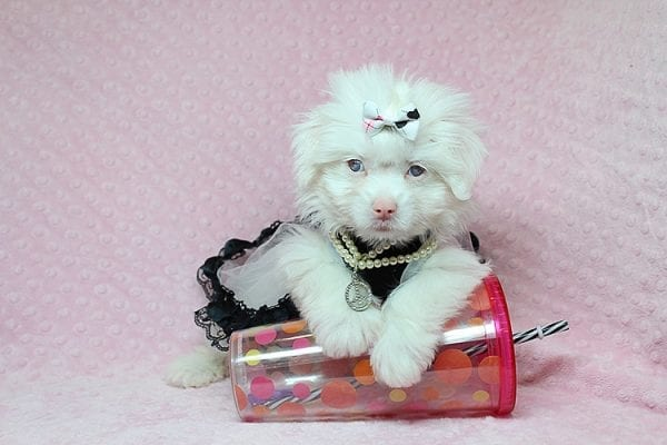 White Chocolate - Teacup Maltese Puppy Found Her Good Loving Home With Juan R. In Bell CA, 90201-0