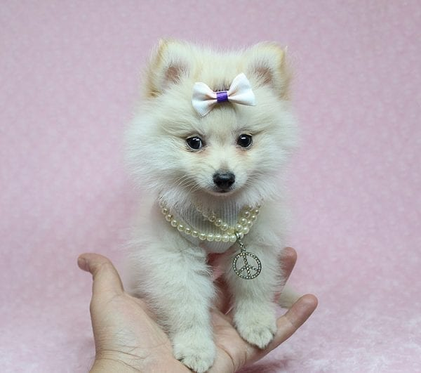 Zelda - Tiny Teacup Pomeranian Puppy found a new home with Jennifer Lopez from Encino CA 91316-25282