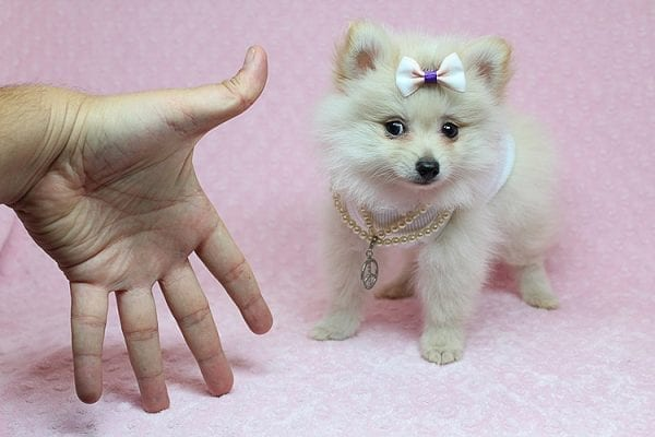 Zelda - Tiny Teacup Pomeranian Puppy found a new home with Jennifer Lopez from Encino CA 91316-25284