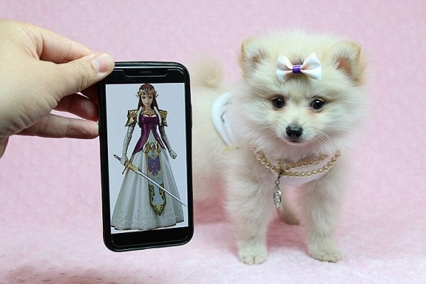 Zelda - Tiny Teacup Pomeranian Puppy found a new home with Jennifer Lopez from Encino CA 91316-0