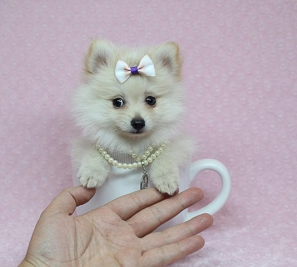 Zelda - Tiny Teacup Pomeranian Puppy found a new home with Jennifer Lopez from Encino CA 91316-25283