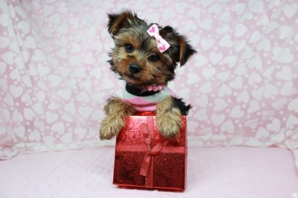 American Girl - Teacup Yorkie Puppy has found a good loving home with Luis from Lowell, MA 01852-25388