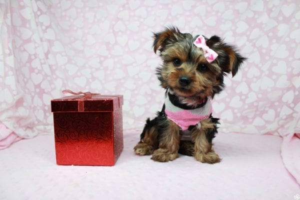 American Girl - Teacup Yorkie Puppy has found a good loving home with Luis from Lowell, MA 01852-25390