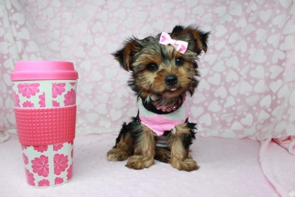 American Girl - Teacup Yorkie Puppy has found a good loving home with Luis from Lowell, MA 01852-0