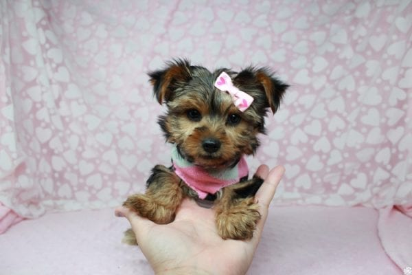 American Girl - Teacup Yorkie Puppy has found a good loving home with Luis from Lowell, MA 01852-25392