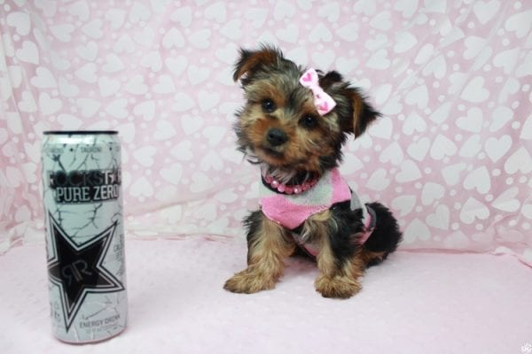 American Girl - Teacup Yorkie Puppy has found a good loving home with Luis from Lowell, MA 01852-25387