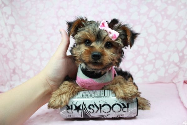American Girl - Teacup Yorkie Puppy has found a good loving home with Luis from Lowell, MA 01852-25389