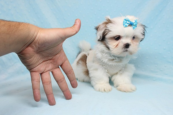 Baby Doll - Teacup Shih Tzu Puppy has found a good loving home with Juan from Avondale, AZ 85392-25368