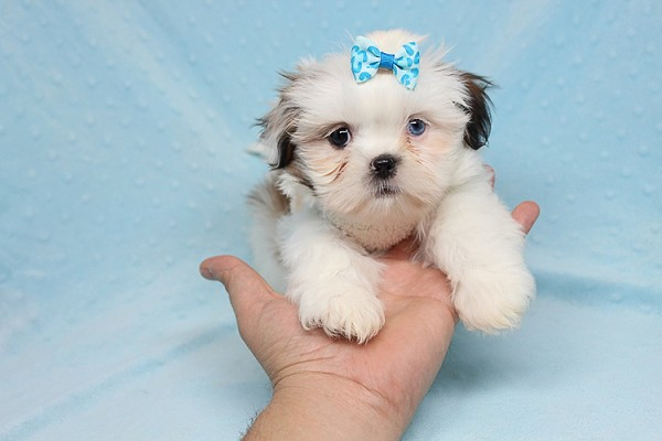 Baby Doll - Teacup Shih Tzu Puppy has found a good loving home with Juan from Avondale, AZ 85392-25369