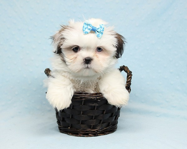 Baby Doll - Teacup Shih Tzu Puppy has found a good loving home with Juan from Avondale, AZ 85392-25363