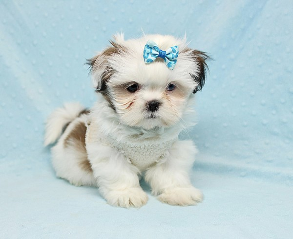 Baby Doll - Teacup Shih Tzu Puppy has found a good loving home with Juan from Avondale, AZ 85392-25362