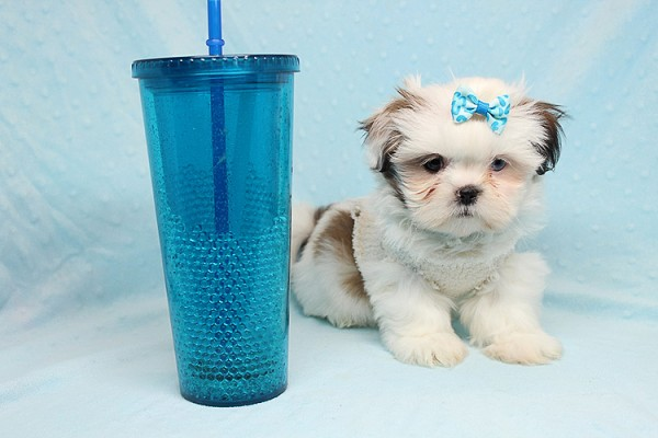 Baby Doll - Teacup Shih Tzu Puppy has found a good loving home with Juan from Avondale, AZ 85392-0