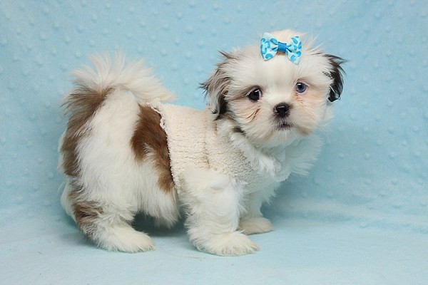 Baby Doll - Teacup Shih Tzu Puppy has found a good loving home with Juan from Avondale, AZ 85392-25365