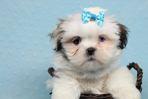 Baby Doll - Teacup Shih Tzu Puppy has found a good loving home with Juan from Avondale, AZ 85392-25366