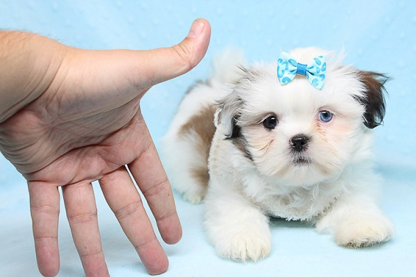 Baby Doll - Teacup Shih Tzu Puppy has found a good loving home with Juan from Avondale, AZ 85392-25367