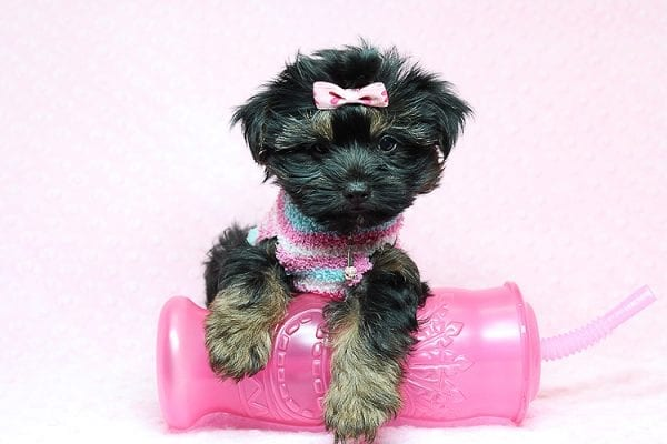Barbie - Teacup Yorkie Puppy Found Her New Loving Home with Tiffany Michelle From Valencia CA 91354-0