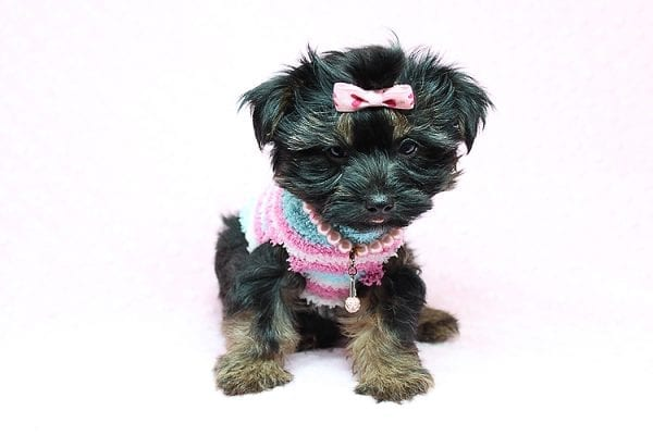 Barbie - Teacup Yorkie Puppy Found Her New Loving Home with Tiffany Michelle From Valencia CA 91354-25442