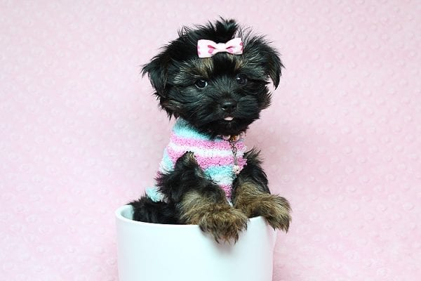Barbie - Teacup Yorkie Puppy Found Her New Loving Home with Tiffany Michelle From Valencia CA 91354-25446