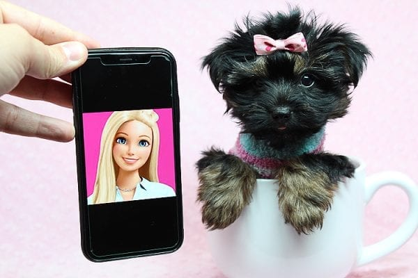 Barbie - Teacup Yorkie Puppy Found Her New Loving Home with Tiffany Michelle From Valencia CA 91354-25447