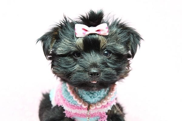 Barbie - Teacup Yorkie Puppy Found Her New Loving Home with Tiffany Michelle From Valencia CA 91354-25441