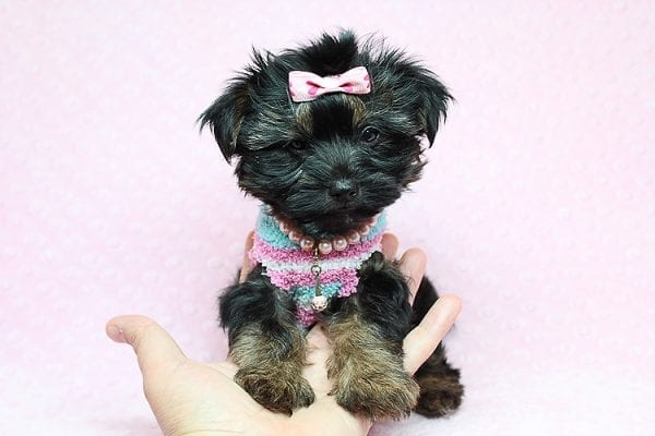 Barbie - Teacup Yorkie Puppy Found Her New Loving Home with Tiffany Michelle From Valencia CA 91354-25443