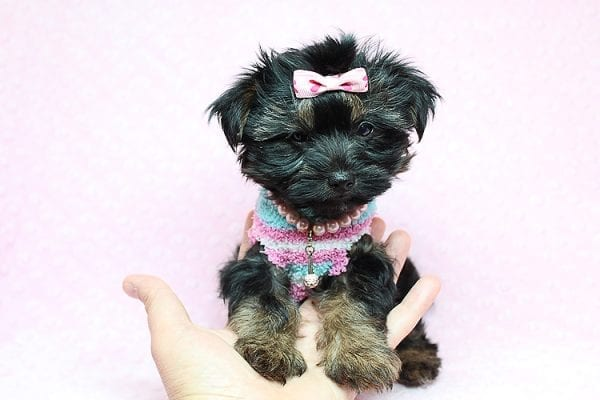 Barbie - Teacup Yorkie Puppy Found Her New Loving Home with Tiffany Michelle From Valencia CA 91354-25444