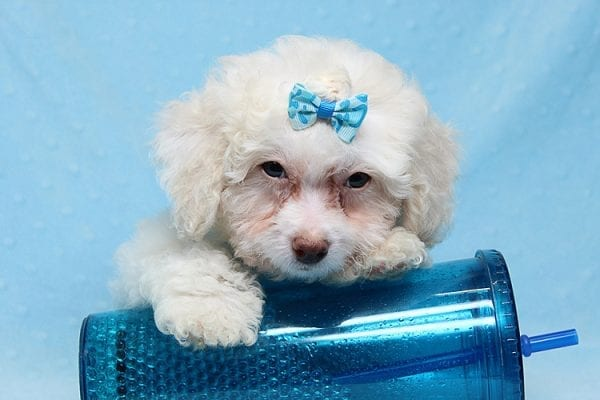 French Vanilla - teacup Maltipoo Puppy Has Found A Good Loving Home with Alton From Las Vegas, NV 89130!-25582