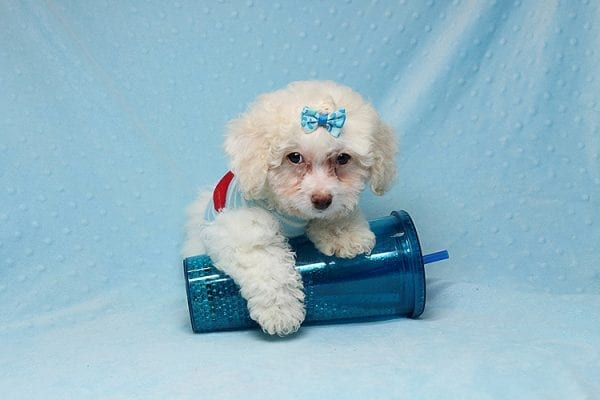 French Vanilla - teacup Maltipoo Puppy Has Found A Good Loving Home with Alton From Las Vegas, NV 89130!-25584