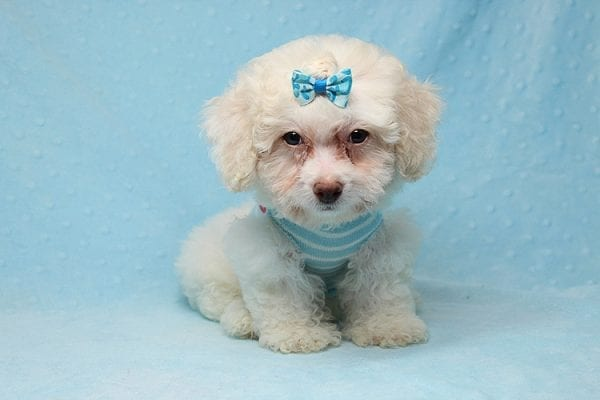 French Vanilla - teacup Maltipoo Puppy Has Found A Good Loving Home with Alton From Las Vegas, NV 89130!-25579