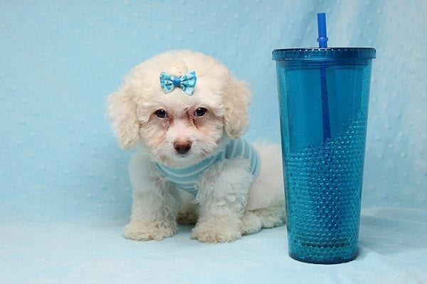 French Vanilla - teacup Maltipoo Puppy Has Found A Good Loving Home with Alton From Las Vegas, NV 89130!-25577