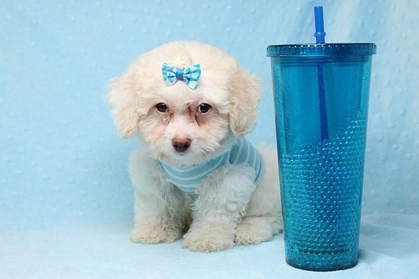 French Vanilla - teacup Maltipoo Puppy Has Found A Good Loving Home with Alton From Las Vegas, NV 89130!-0