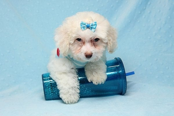 French Vanilla - teacup Maltipoo Puppy Has Found A Good Loving Home with Alton From Las Vegas, NV 89130!-25578