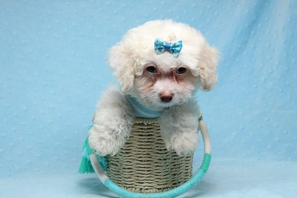 French Vanilla - teacup Maltipoo Puppy Has Found A Good Loving Home with Alton From Las Vegas, NV 89130!-25580