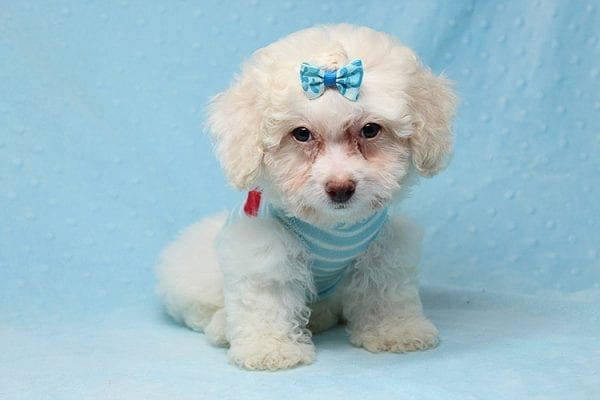 French Vanilla - teacup Maltipoo Puppy Has Found A Good Loving Home with Alton From Las Vegas, NV 89130!-25583