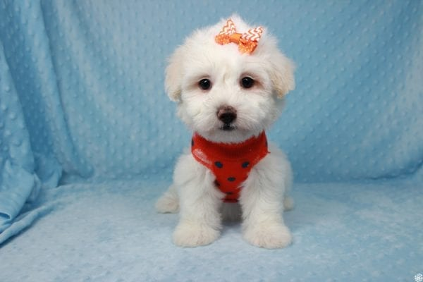 Ghost - Toy Malshih Puppy Found His New Loving Home with Malaysia From Los Angeles CA 90016-25649