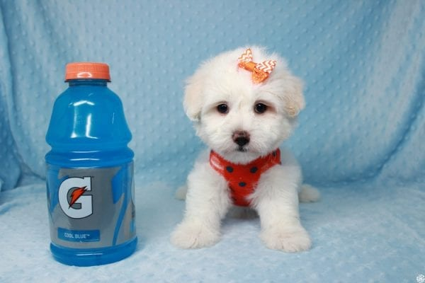 Ghost - Toy Malshih Puppy Found His New Loving Home with Malaysia From Los Angeles CA 90016-25650
