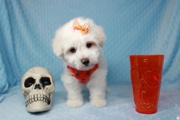 Ghost - Toy Malshih Puppy Found His New Loving Home with Malaysia From Los Angeles CA 90016-0