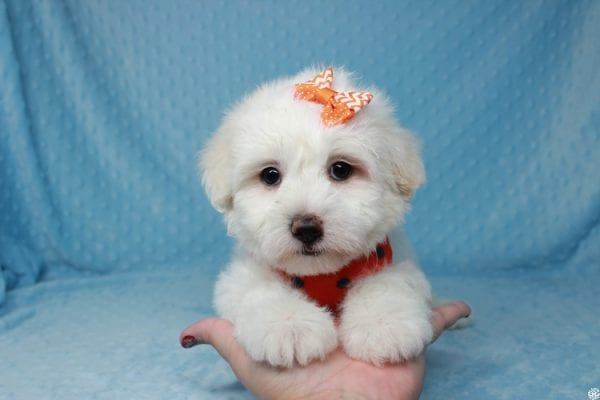 Ghost - Toy Malshih Puppy Found His New Loving Home with Malaysia From Los Angeles CA 90016-25653