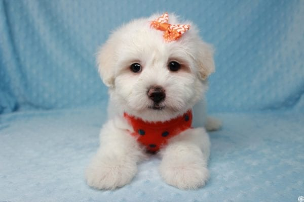 Ghost - Toy Malshih Puppy Found His New Loving Home with Malaysia From Los Angeles CA 90016-25654