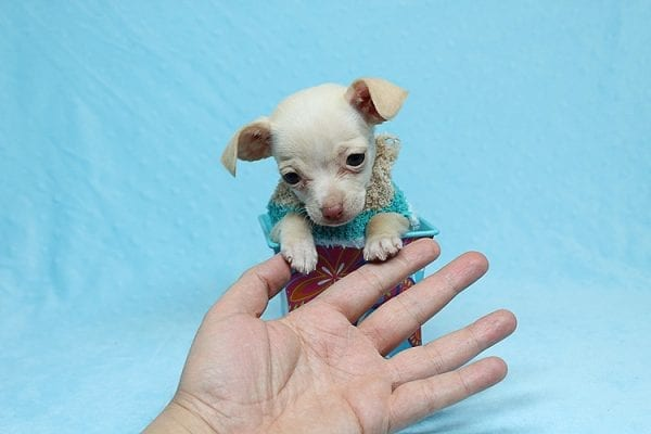 Gromit - Tiny Teacup Chihuahua Found his New Loving Home with Ricardo from Pocoima CA 91331-26298