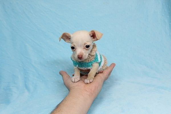 Gromit - Tiny Teacup Chihuahua Found his New Loving Home with Ricardo from Pocoima CA 91331-26291