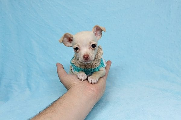 Gromit - Tiny Teacup Chihuahua Found his New Loving Home with Ricardo from Pocoima CA 91331-26292